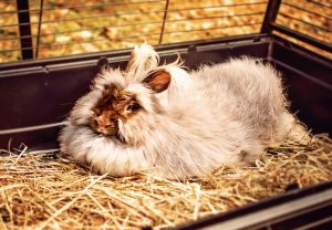 Rabbit moulting - grooming tips
