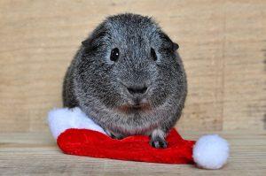 guinea pigs winter care tips