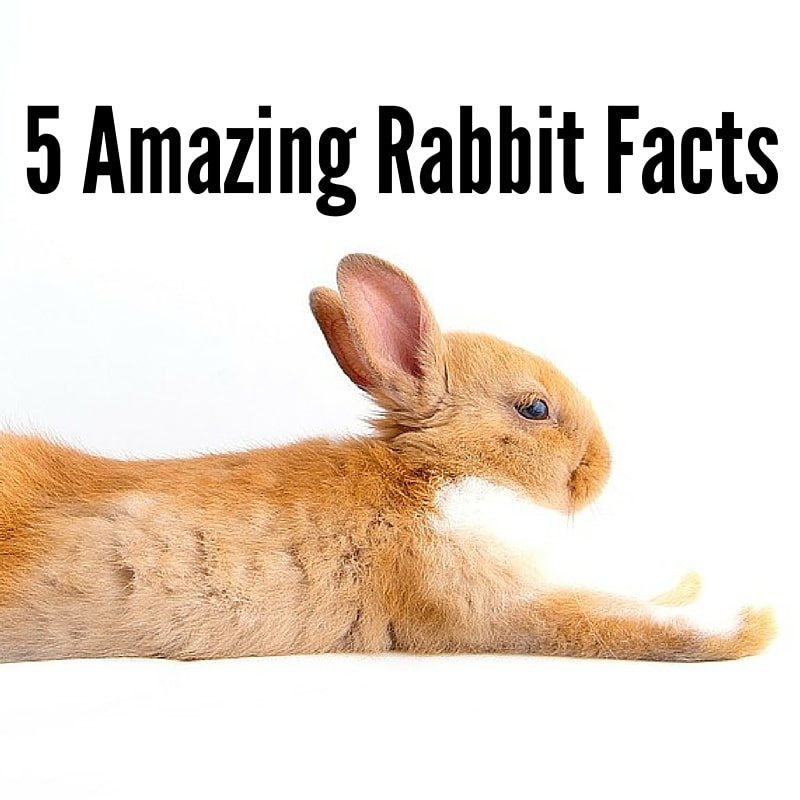 Rabbit Facts 40 Interesting Facts About Rabbits Home Roost