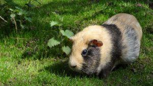 Guinea pig tips