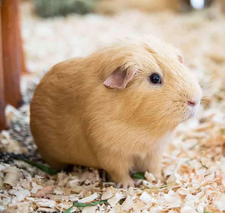 Best Bedding For Guinea Pigs Reviews, Can You Use Timothy Hay For Guinea Pig Bedding