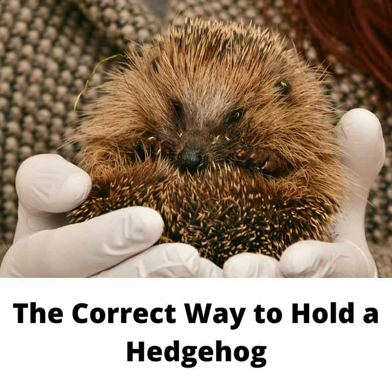 The Correct Way to Hold a Hedgehog