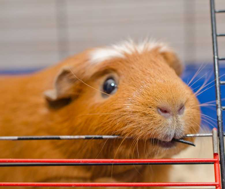 Why guinea pigs fight